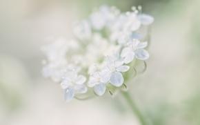 Обои цветы, макро, размытость, trachymene, нежно, голубой, цветок
