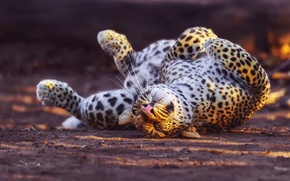 Картинка леопард, играет, большая кошка, вывернулся