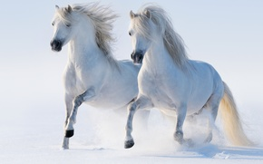 Картинка зима, снег, кони, лошади, бег, пара, аллюр