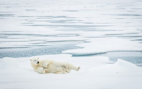 Картинка Bear, Polar, Sleepy