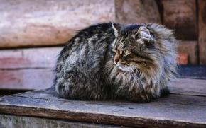 Картинка глаза, кот, взгляд, злой, пушистик, смотрит