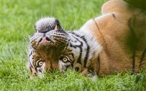 Картинка кошка, трава, морда, тигр, ©Tambako The Jaguar