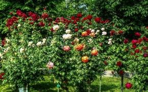 Картинка лето, природа, розы, Цветы, colors, summer, кусты, nature, flowers, roses
