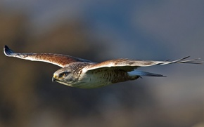 Картинка птица, крылья, хищник, полёт, bird, взмах, ястреб, predator, Королевский канюк, royal hawk, Buteo regalis, Ferruginous …