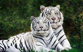 Обои пара, двое, тигры