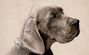 Обои взгляд, морда, пес