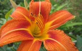 Картинка цветы, оранжевый, flowers, orange