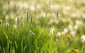 Картинка трава, макро, блики, колоски, боке