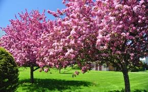 Картинка цветы, красота, цветущие, природа, сад, деревья, цветут, в цвету, цветение, небо, весна