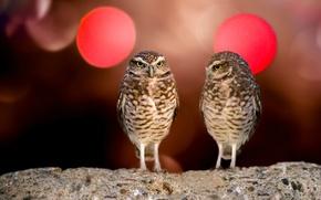 Картинка взгляд, птицы, угарно, Совы