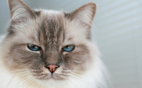 Обои кошка, взгляд, глаза, фон
