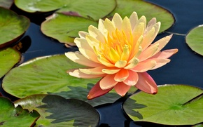 Картинка листья, кувшинка, нимфея, водяная лилия