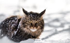 Обои зима, взгляд, снег, рысенок, мейнкун, mainecoon