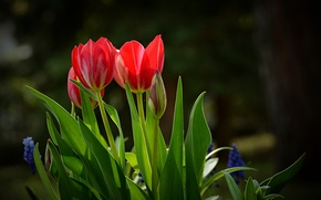 Картинка весна, Тюльпаны, красные, red, tulips, spring