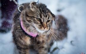 Обои зима, животные, рыжий, мейнкун, ДОМАШНЯЯРЫСЬ, mainecoon