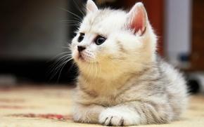 Картинка лежит, британец, Полосатый котенок