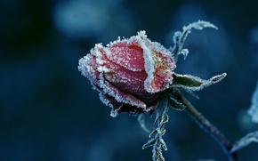 Картинка иней, роза, бутон