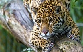 Картинка морда, хищник, пятна, когти, ягуар