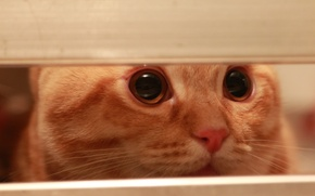 Картинка глаза, кот, усы, взгляд, кошак, нос, вислоухий, kitten, cat, котэ, моня, scottish, fold