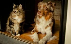 Картинка кошка, собака, Австралийская овчарка