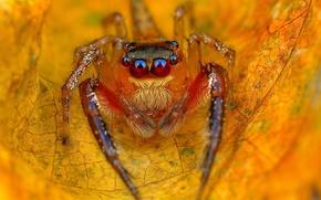 Обои джампер, лист, осенний, желтый, прыгун, паук