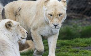 Картинка кошка, взгляд, морда, белая, львица, ©Tambako The Jaguar