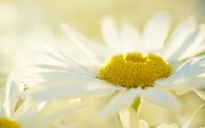 Картинка цветок, фон, ромашка, белая
