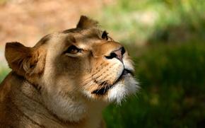 Обои голова, усы, взгляд, фон, морда, обои, львица, лев