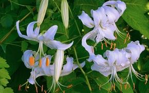 Обои лилии, белые, тычинки, бутоны, листья