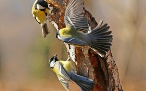 Обои синица, перья, игра, крылья, дерево, птицы, хвост, ствол