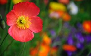 Обои красный, макро, цветок