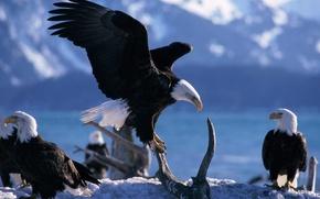 Обои птицы, горы, орел