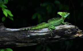 Картинка животные, зеленый, ветка, ящерица, рептилия, василиск, basiliscus