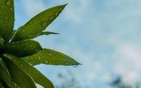 Картинка листья, капли, растения, зеленые