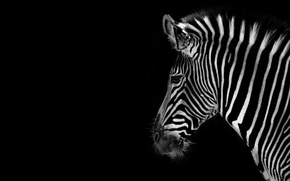 Картинка фон, цвет, зебра