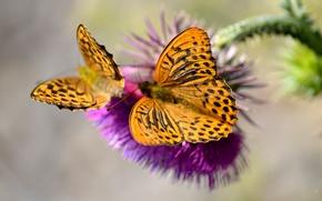 Картинка бабочка, растение, насекомое, мотылек, сорняк, цветое