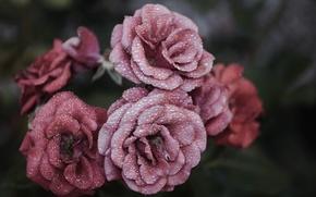 Картинка цветы, макро, вода, розы, капли