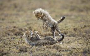 Обои хищники, гепарды, игра, котята, детёныши