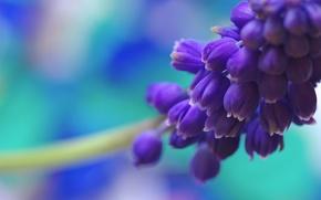 Картинка цветок, макро, синий, природа, голубой, цвет, весна, мускари