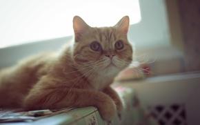 Картинка усы, взгляд, рыжий, смотрит, ушки, уши, глаза, кот
