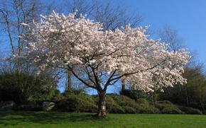 Обои Дерево, вишня, белый, сакура