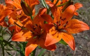 Картинка цветы, лилия, оранжевые, Лилии