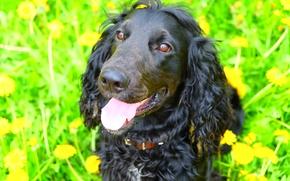 Картинка собаки, собака, спаниель, черная собака, кокер спаниель