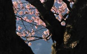 Картинка дерево, Япония, сакура
