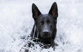Обои собака, взгляд, трава, морда, овчарка, Немецкая овчарка