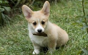 Картинка трава, лист, щенок, сидит, ушастый