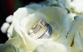 Картинка цветы, розы, кольца, белые, свадьба