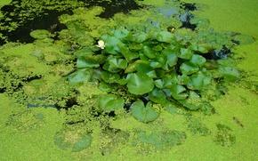 Картинка зелень, листья, вода, пруд, водоём, кувшинки, ряска