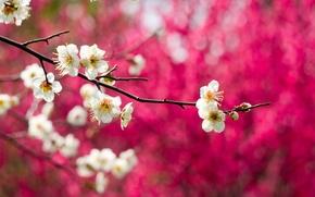 Картинка макро, цветы, природа, дерево, ветка, весна, белые, цветение, слива