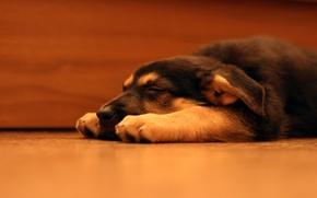 Картинка собака, щенок, овчарка